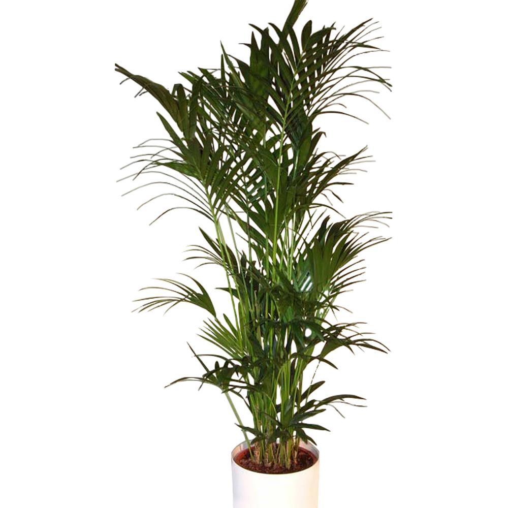 pflanzen howeia palme gross